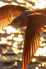 Pássaro voando em cima da água, do sol, brilho