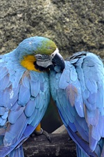 Preview iPhone wallpaper Blue and yellow macaws, Singapore
