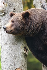Preview iPhone wallpaper Brown bear, beast, tree