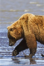 Preview iPhone wallpaper Brown bears family, mother and cubs, Lake Clark National Park, Alaska, USA