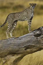 Preview iPhone wallpaper Cheetah on a tree branch, Serengeti National Park, Tanzania