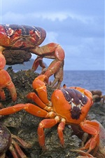 Christmas Island Red Crab, Australia