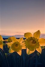 Preview iPhone wallpaper Daffodils flowers, yellow petals, dusk, sunset