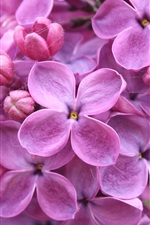 Preview iPhone wallpaper Flowers close-up, purple color lilac macro photography