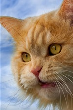 Preview iPhone wallpaper Furry cat, orange, yellow eyes, face close-up