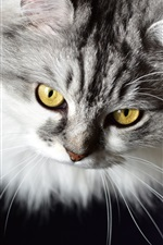 Preview iPhone wallpaper Furry kitten, yellow eyes, black background