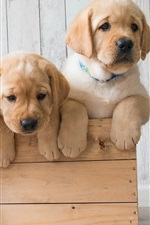 Preview iPhone wallpaper Golden Retriever, three cute puppies
