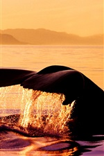 Preview iPhone wallpaper Humpback whale at sunset, Stephens Passage, Alaska, USA