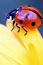 Insect close-up, ladybird, beetle, yellow flower petals
