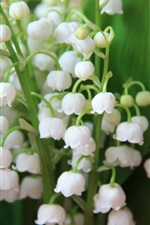 Preview iPhone wallpaper Lily of the valley, white little flowers, spring
