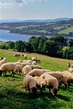 Muitos carneiros, fazenda rural