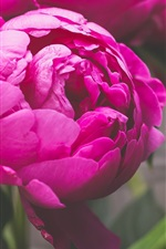 Preview iPhone wallpaper Pink peony flower macro photography