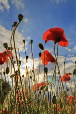 Preview iPhone wallpaper Red poppies, sky, clouds, flowers, sun rays