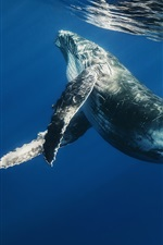 Preview iPhone wallpaper Sea animals, whale, ocean, underwater