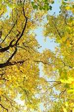 Trees, branches, crown, yellow leaves, beautiful autumn