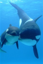 Whales, underwater, sea, mother and child