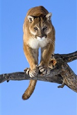 Preview iPhone wallpaper Wild cat, puma, dry tree