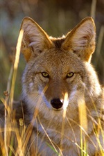 Preview iPhone wallpaper Wolf in the grass, Black Canyon, Gunnison National Park, USA
