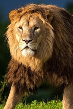 Preview iPhone wallpaper Animals close-up, lion, mane, predator, grass