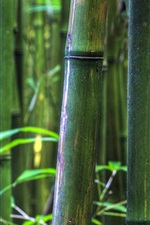 Preview iPhone wallpaper Bamboo forest, Maui, Hawaii, USA