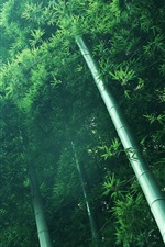 Bamboo forest, green