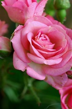 Preview iPhone wallpaper Beautiful pink rose flowers, dew