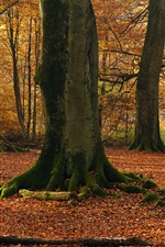 Preview iPhone wallpaper Beech trees, forest, autumn