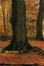 Beech trees, forest, autumn