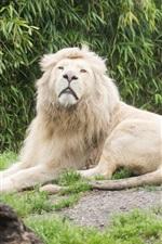 Preview iPhone wallpaper Big cats, lioness, lion, grass