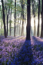 Preview iPhone wallpaper Dawn in bluebell woodland, Hampshire, England