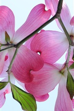 Preview iPhone wallpaper Dogwood branches, pink flowers, petals