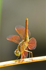 Preview iPhone wallpaper Dragonflies dance, couple, insect close-up