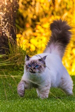 Preview iPhone wallpaper Fluffy tail cat walking on grass