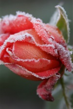Preview iPhone wallpaper Frozen flower, frost, red rose