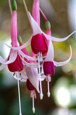 Fuchsia flowers, bokeh