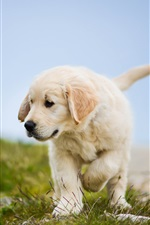 Preview iPhone wallpaper Golden Retriever, cute dog, puppy, grass