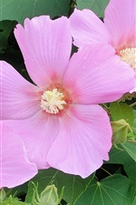 Preview iPhone wallpaper Hibiscus mutabilis, pink flowers close-up