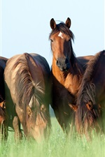 Preview iPhone wallpaper Horses graze, grass, summer