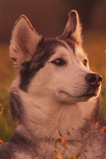 Preview iPhone wallpaper Husky dog in grass, face, dusk