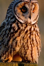 Preview iPhone wallpaper Long-eared owl, birds photography
