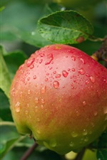Preview iPhone wallpaper One fresh apple in tree, water drops