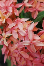 Preview iPhone wallpaper Orange color ixora close-up