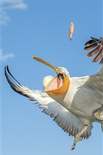 Preview iPhone wallpaper Pelican catch fish, wings, sky