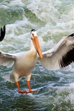 Pelican, wings, bird close-up, water waves