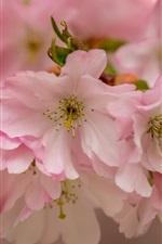 미리보기 iPhone 배경 화면 핑크 벚꽃 꽃, 꽃, 매크로 사진