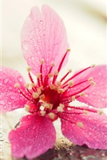 Preview iPhone wallpaper Pink flower close-up, water drops