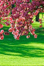 Preview iPhone wallpaper Pink flowers tree, green grass