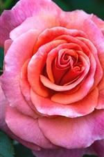 Pink rose close-up, petals, bokeh