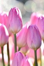Pink tulips, flowers field, bokeh
