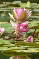 Preview iPhone wallpaper Pink water lily flowers, pond, leaves, frog